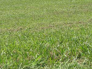 Kikuyu - Turf Varieties