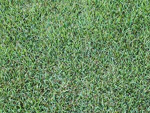 Nara Native - Turf Varieties
